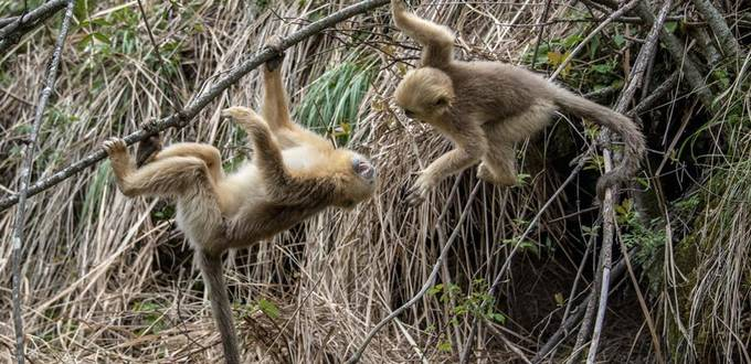 Number of golden monkeys doubles in China's Shennongjia area